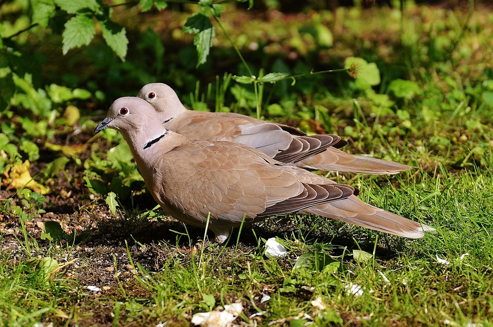 Collared, Pigeons, Lovebirds, Couple, Pair, Bird