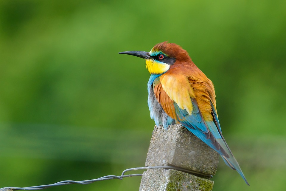 European Bee Eater, Bird, Nature, Colorful, Meropidae
