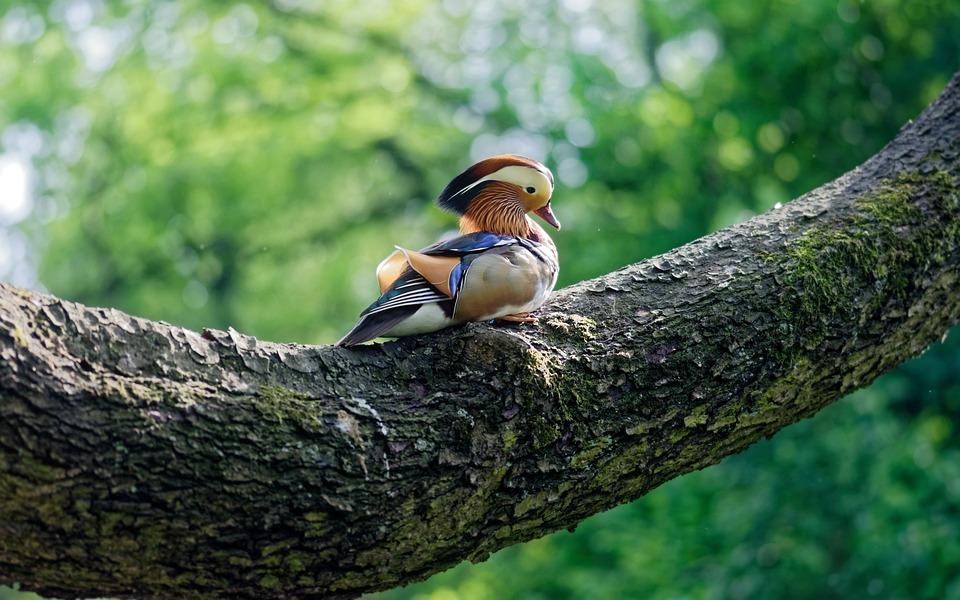Bird, Duck, Mandarin, Tree, Pom, Branch, Seated, Colors