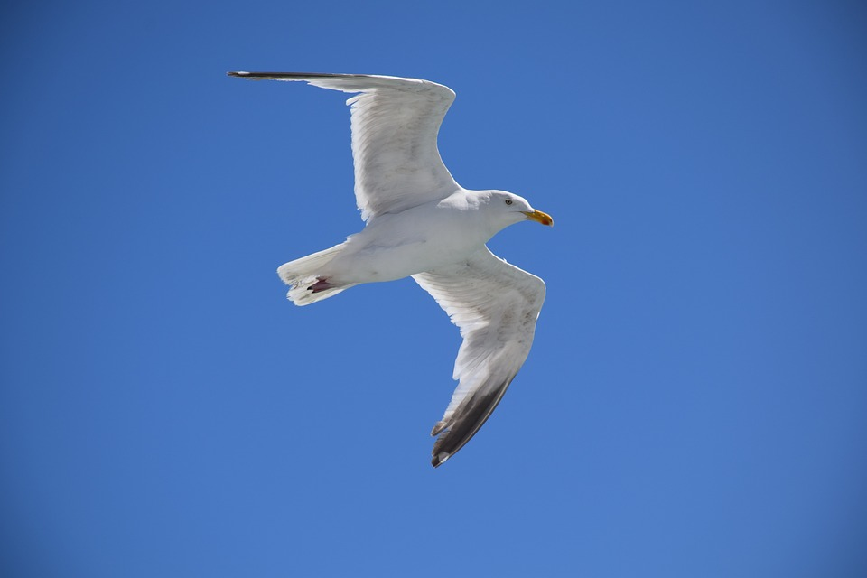 Seagull, Möwe, Bird, Cormorant, Flying, Nature, White
