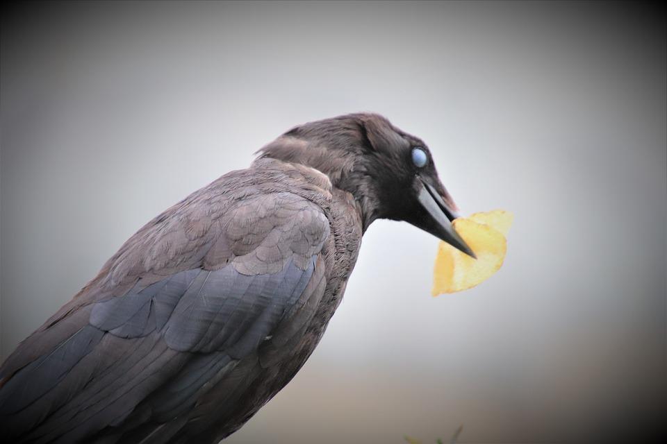 Corneille, Bird, Animals, Raven, Black, Crows, Pen