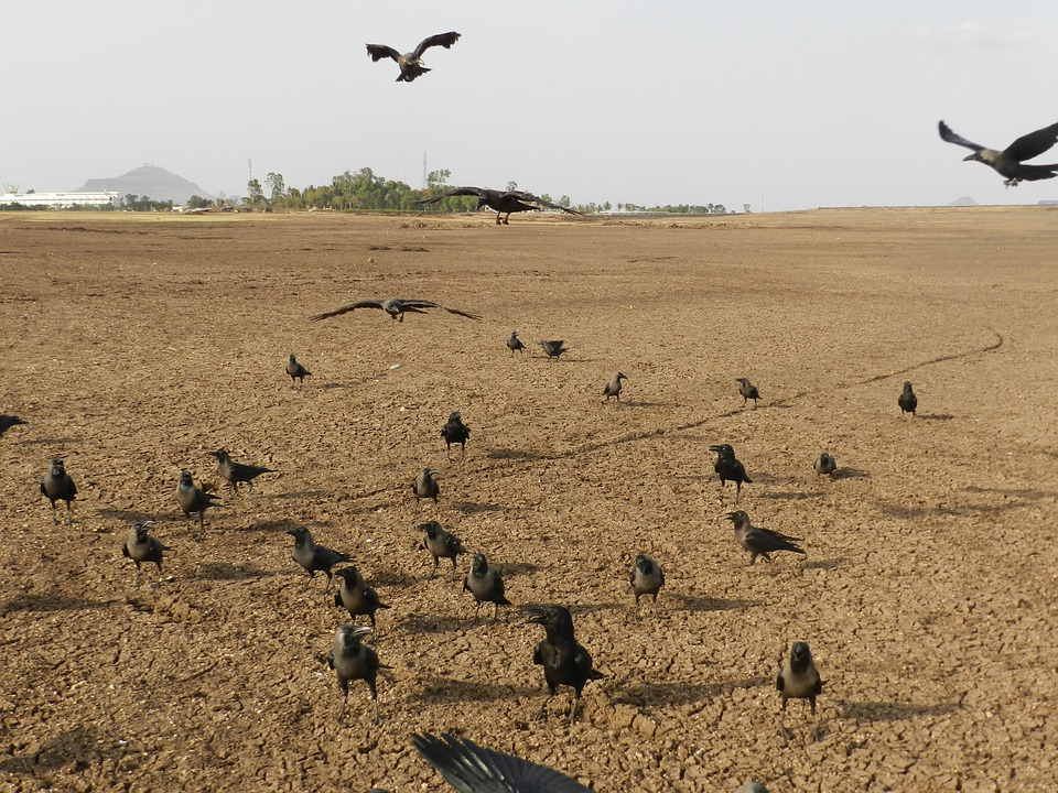 Crows, Bird, Indian House Crow, Corvus Splendens