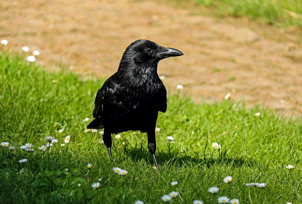Rook, Corvus, Raven, Crow, Bird, Raven Bird, Animal