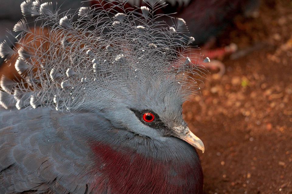 Bird, Dove, Krontaube, Animal World, Fan-deaf