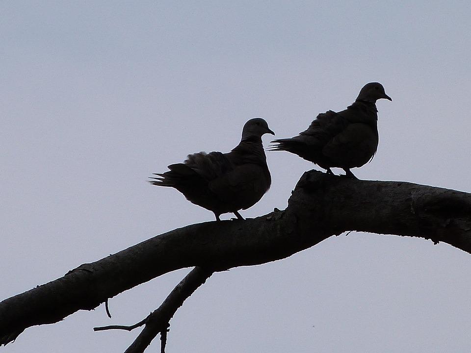 Bird, Dove, Animals