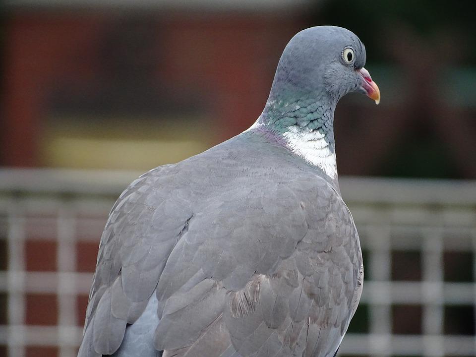 Dove, Ringdove, Field Deaf, City Pigeon, Bird