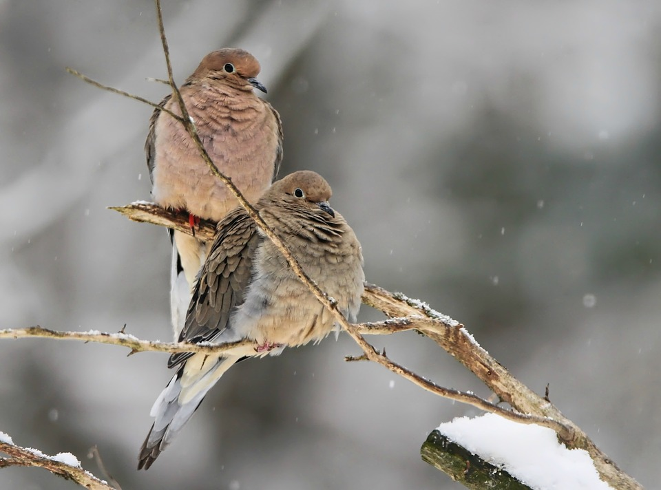 Mourning Doves, Dove, Bird, Nature, Wildlife, Perched