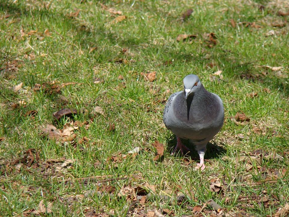 Russula, Bird, Nature, Dove
