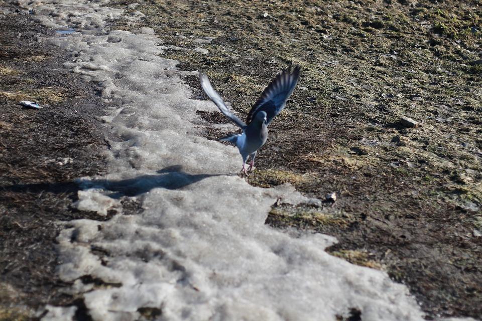 Dove, Bird, Spring, Nature, Wing