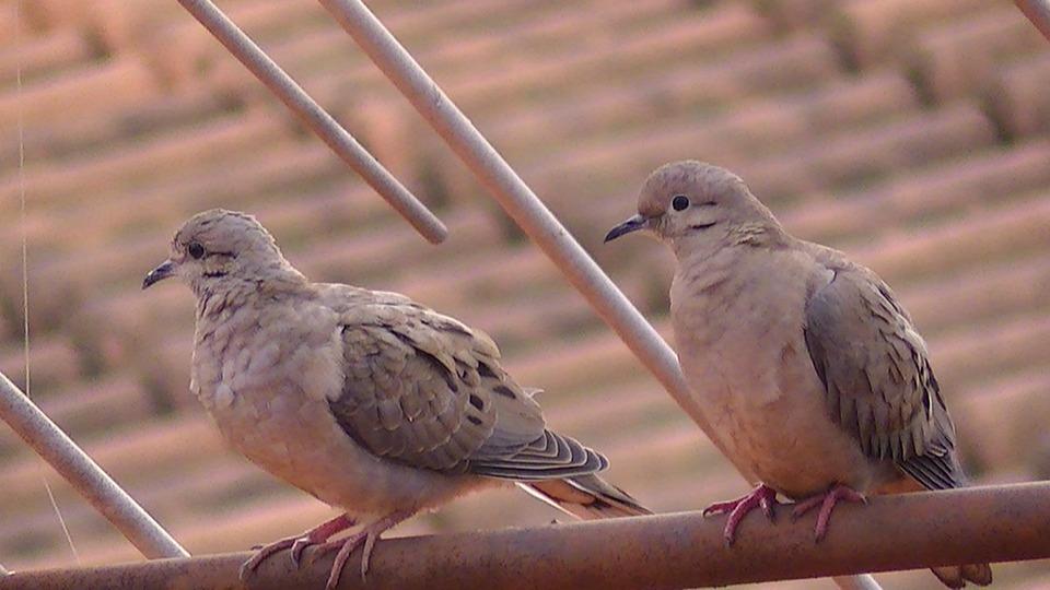 Bird, Pity, Dove Rolls