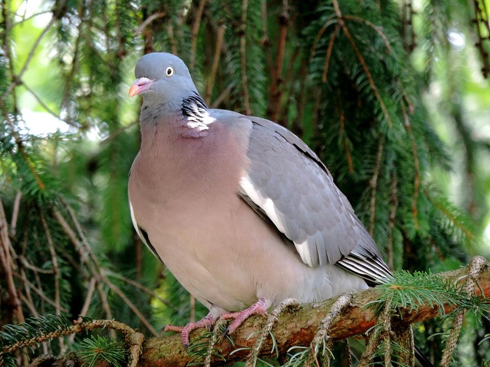 Dove, Ringdove, Bird, Doves And Pigeons, Animal