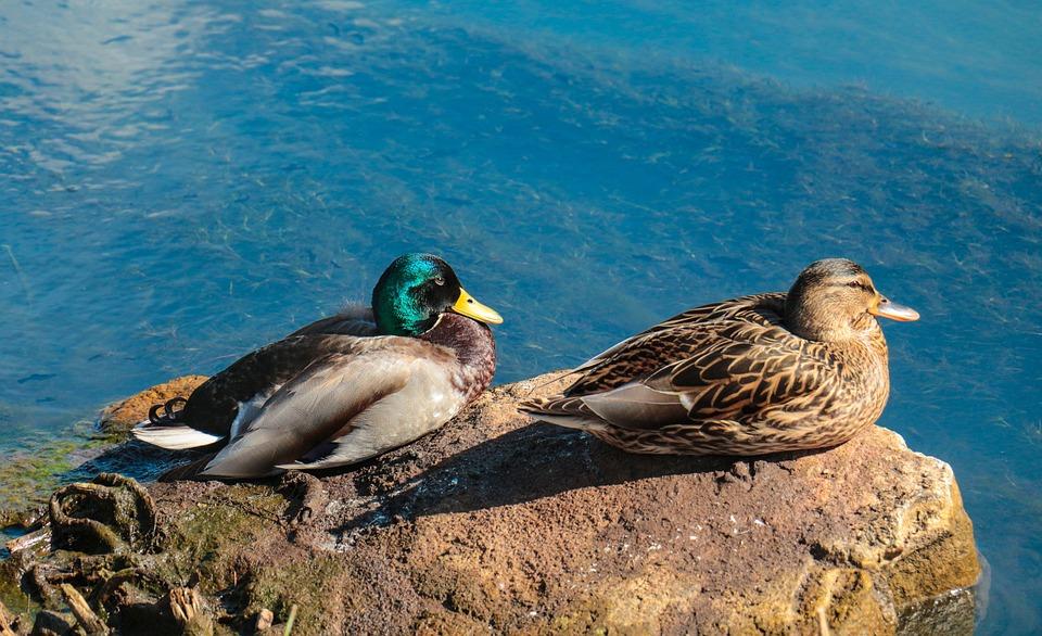 Bird, Nature, Animal World, Waters, Animal, Duck, Pair