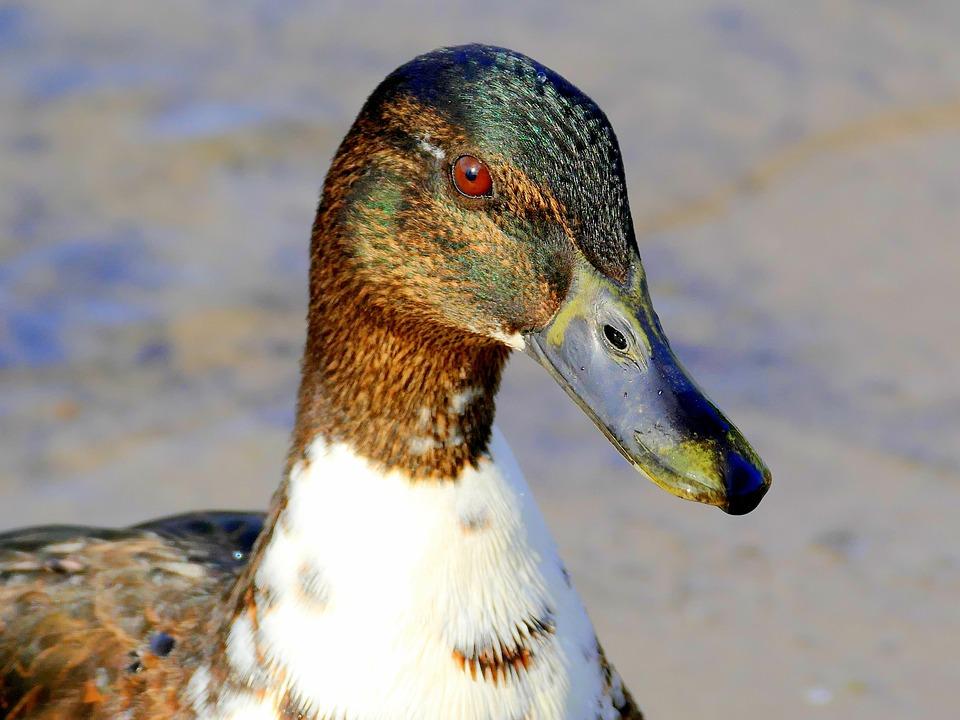 Water Bird, Duck, Drake, Mallard, Bird, Nature