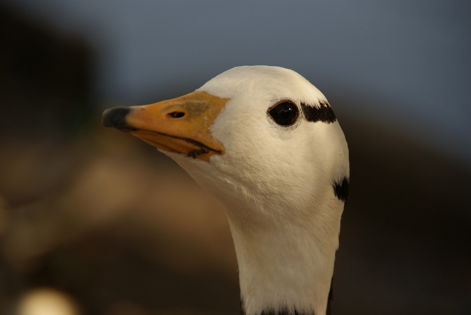 Duck, Animal, Bird, Natural