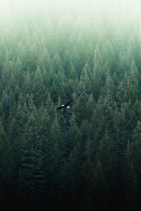 Eagle, Flying, Forest, Trees, Bird, Animal