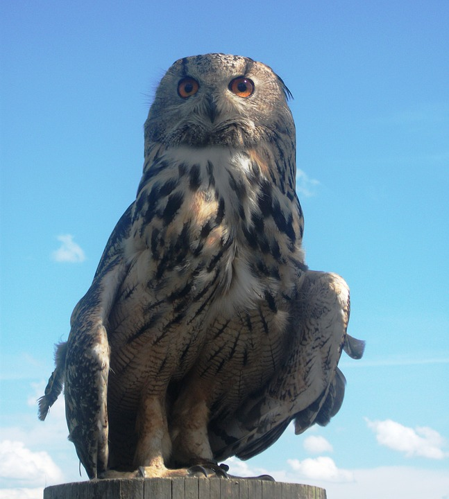 Eagle Owl, Owl, Bird, Bird Of Prey, Raptor, Animal