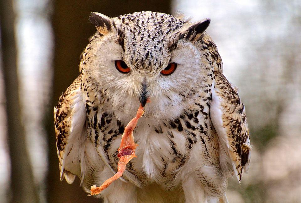 Owl, Wildpark Poing, Prey, Bird, Feather, Eagle Owl