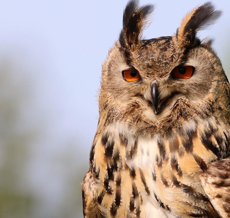 Eurasian Eagle Owl, Owl, Bird, Wildlife, Eurasian