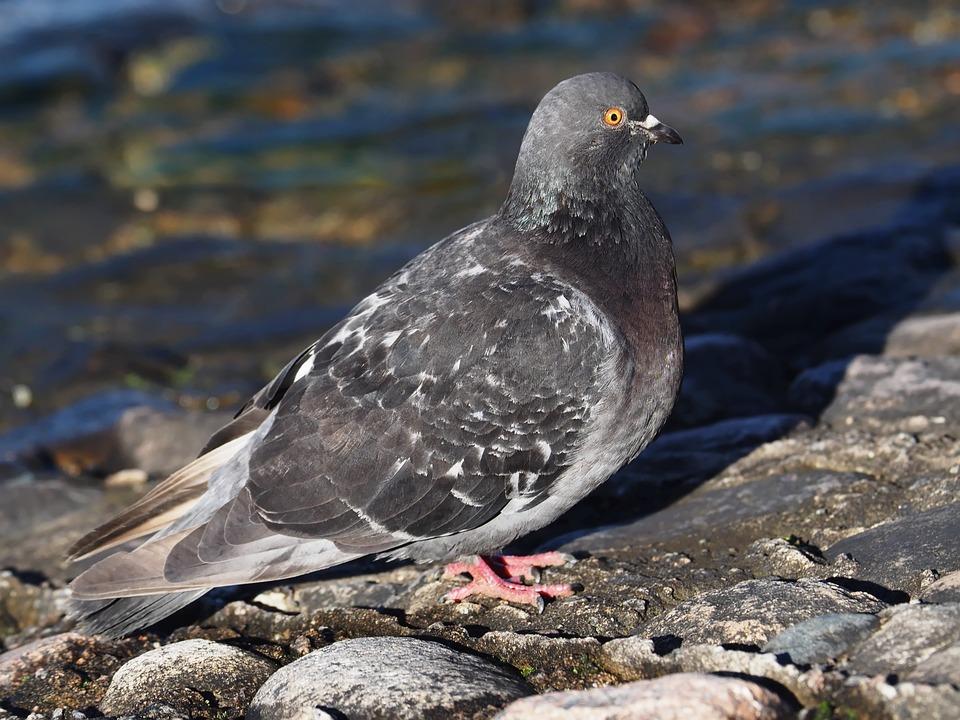Bird, Dove, Walking, Stones, Eye, Looking, Water