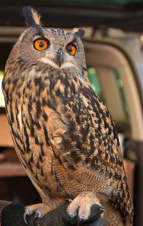 Owl, Bird, Eyes, Brown, Feathers, Portrait, Ave, Perch