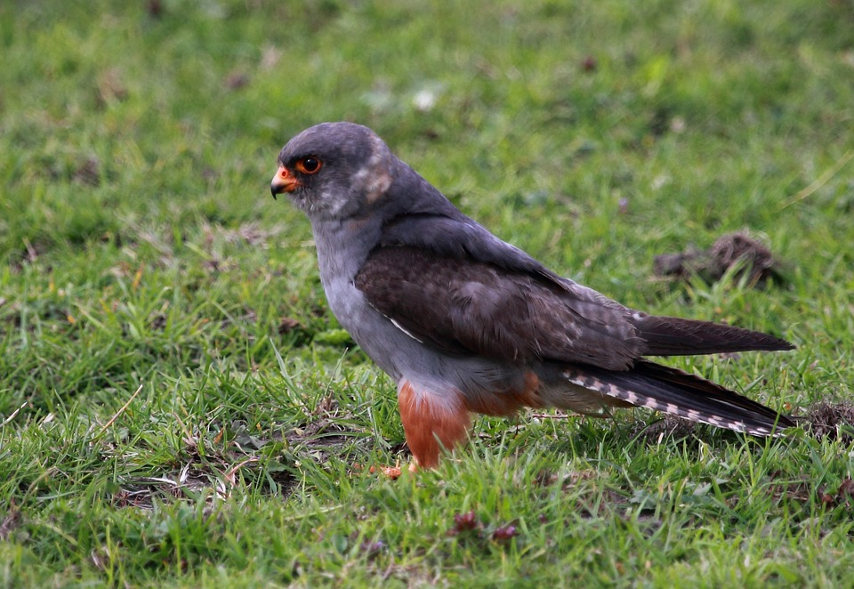 Wild, Bird, Falcon, Red Footed