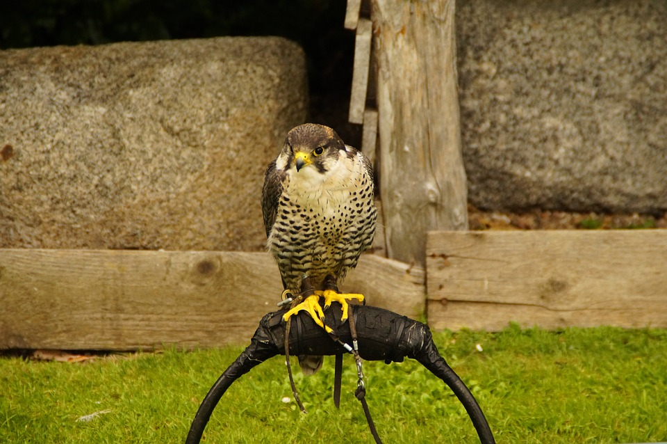 Falcon, Falconry, Bird, Bill, Feather, Bird Of Prey