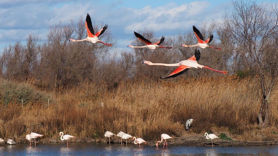 Bird, Nature, Pink Flamingo, Fauna, Flight, Camargue