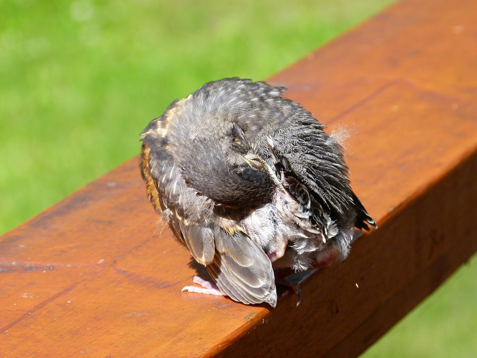 Red Robin, Chick, Fledgling, Bird, Feathered, Fauna