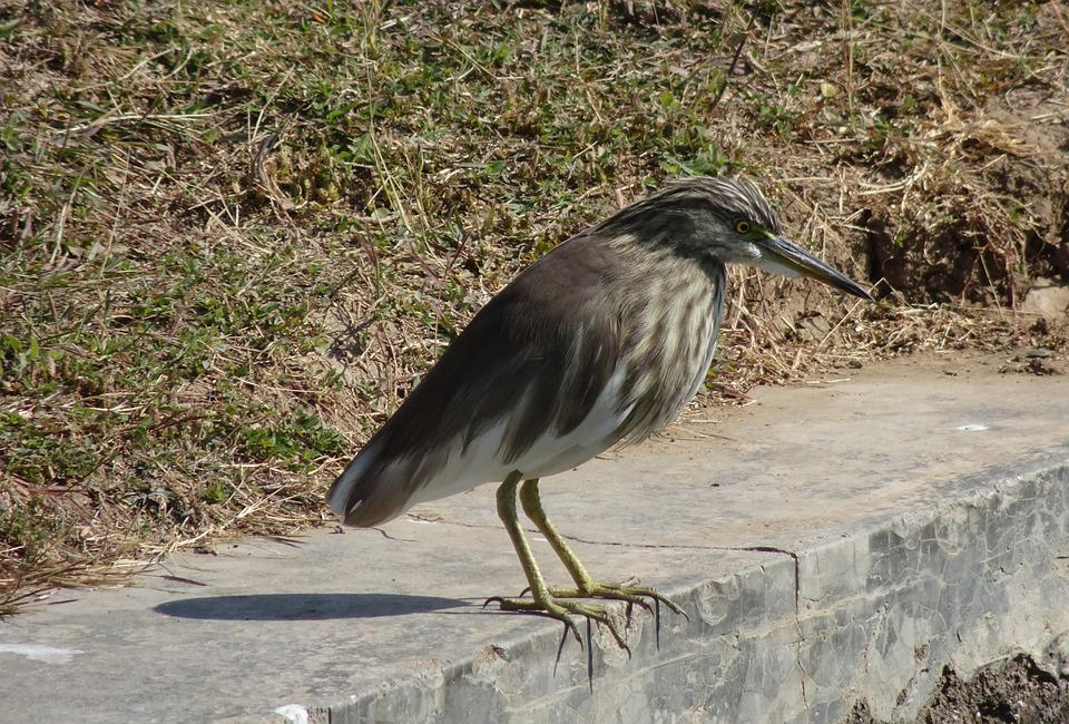 Pond Heron, Bird, Fauna, Avian, Wildlife, Ornithology