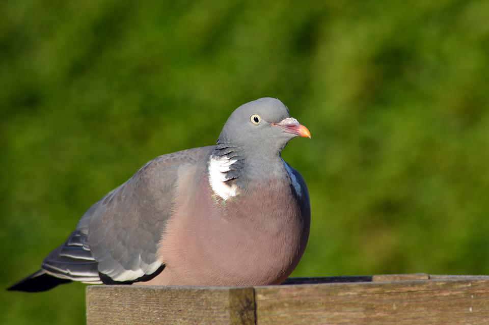 Wood Pigeon, Pigeon, Bird, Animal, Feather, Common