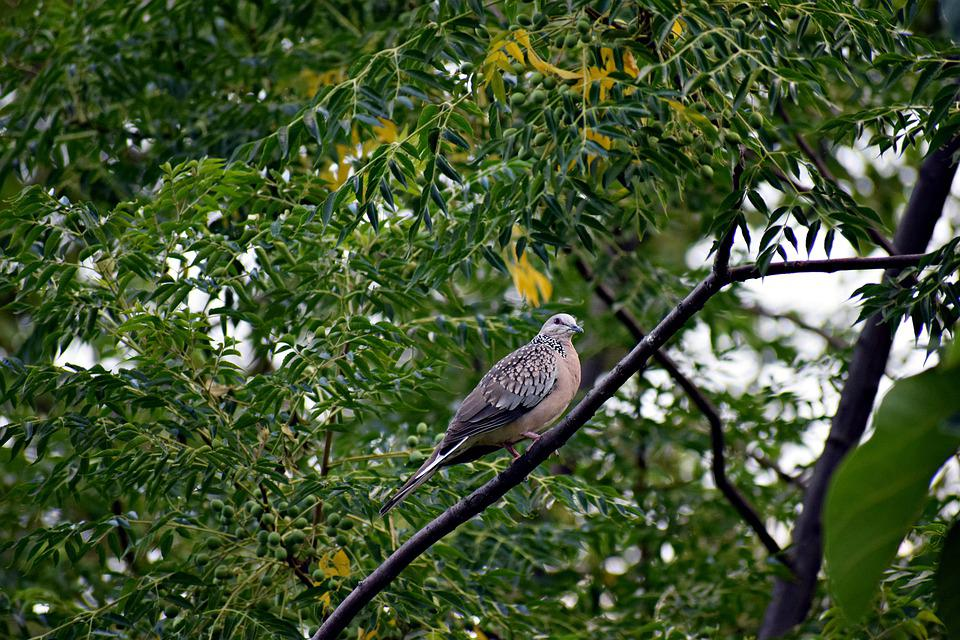 Dove, Bird, Pigeon, Animal, Plumage, Feather, Wings