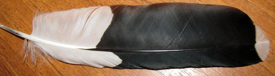 Feather, Magpie, Bird, Nature