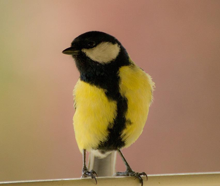 Bird, Animal, Birds, Nature, Songbird, Feather