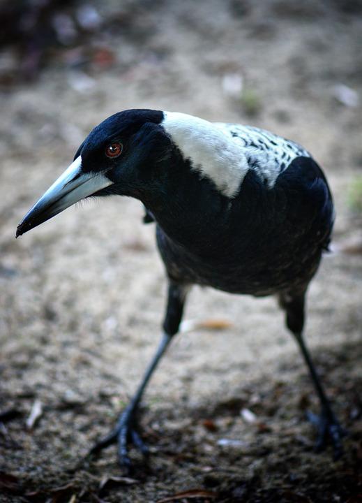 Magpie, Australia, Bird, Wild, Beak, Nature, Feathers