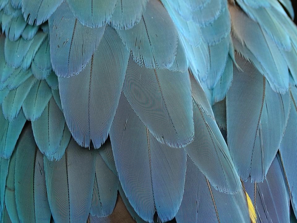 Feather, Plumage, Blue, Parrot, Bird Feathers, Bird