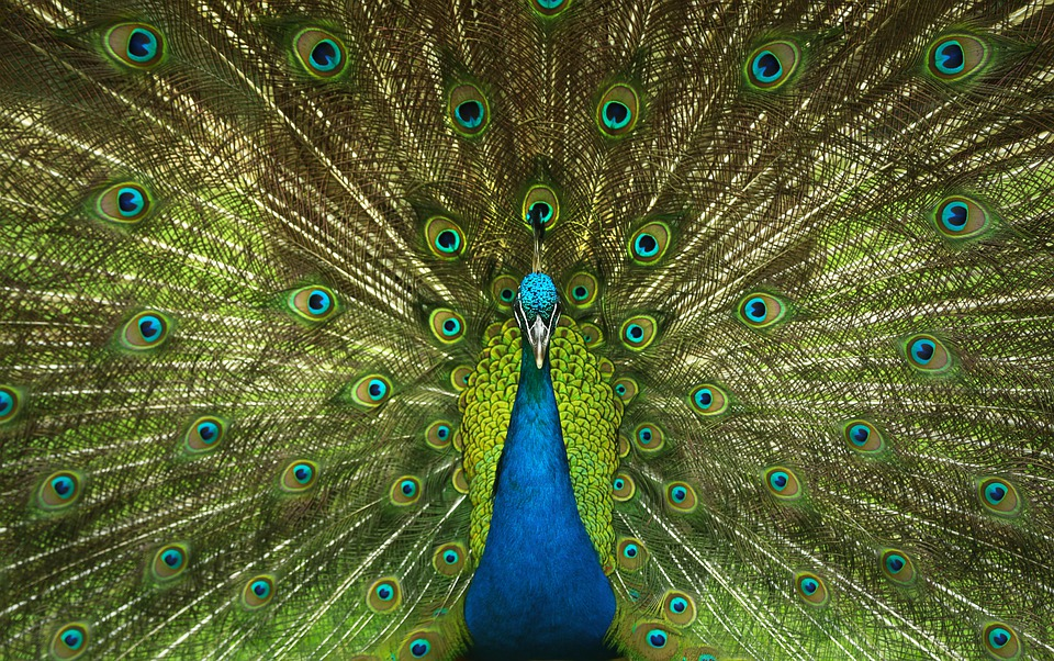 Peacock, Feathers, Bird, Nature, Patterns, Plumage