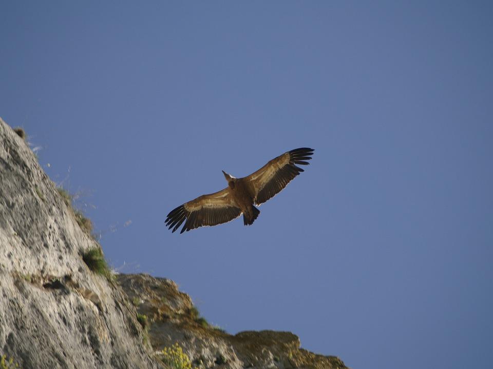 Vulture, Bird, Feathers