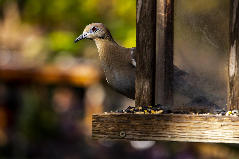 Bird, Wildlife, Dove, Nature, Bird Feeder