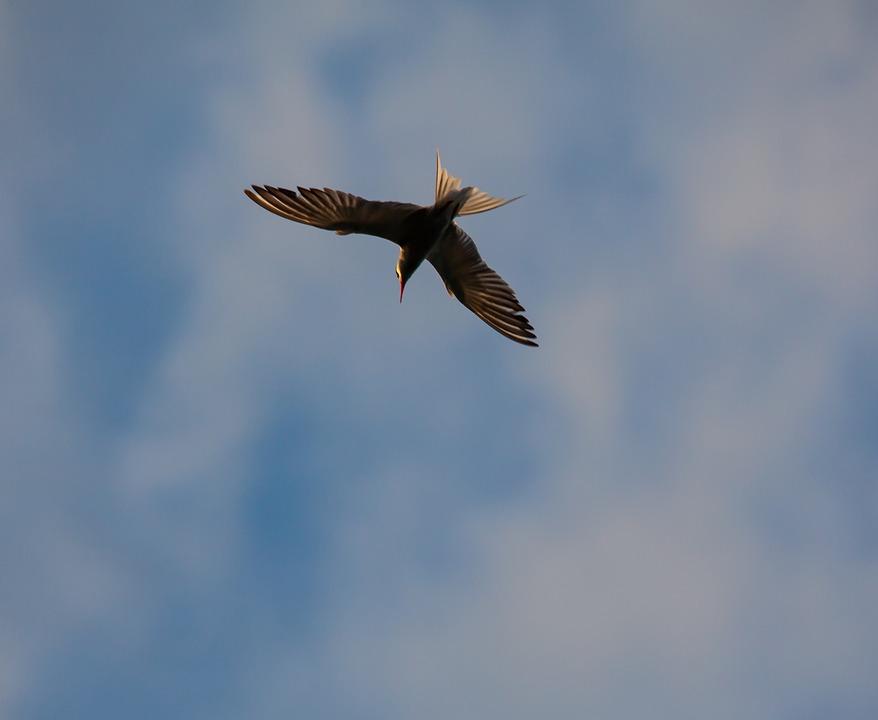 Arctic Tern, Sea Swallow, Sea Bird, Fishing, Bird