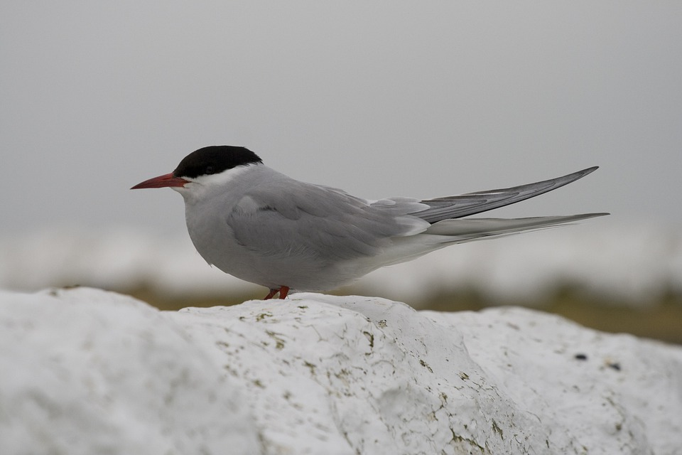 Tern, River Tern, Bird, Shore Bird, Fishing, Aves