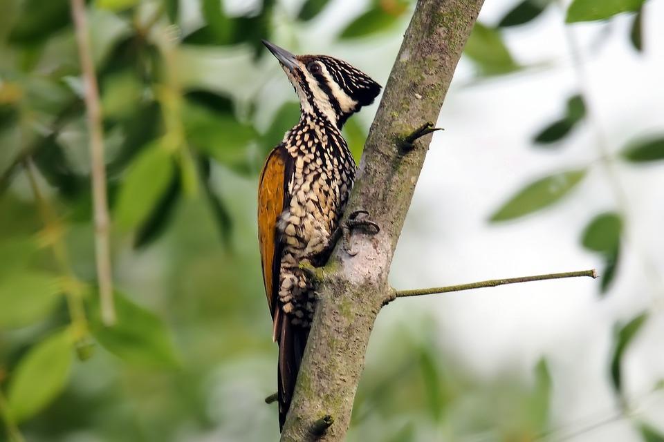 Flame-back Woodpecker Female, Wild, Bird, Wildlife