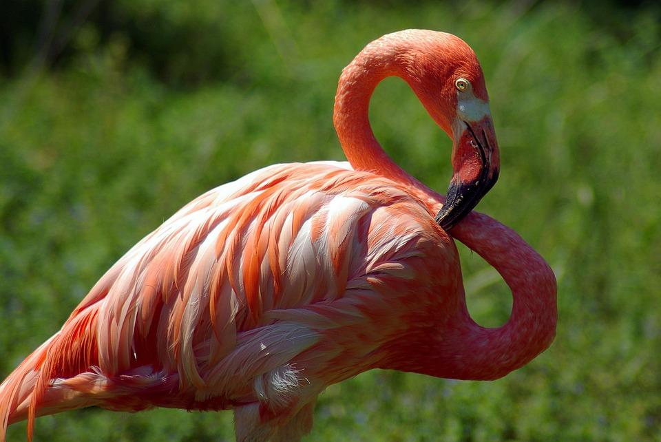 Madison Zoo Flamingo, Flamingo, Bird, Animal, Plumage