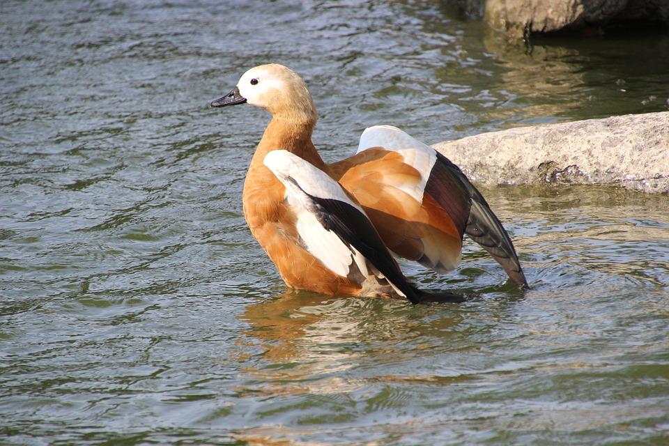 Ruddy Shelduck, Flapping, Lake, Duck, Bird, Water Bird