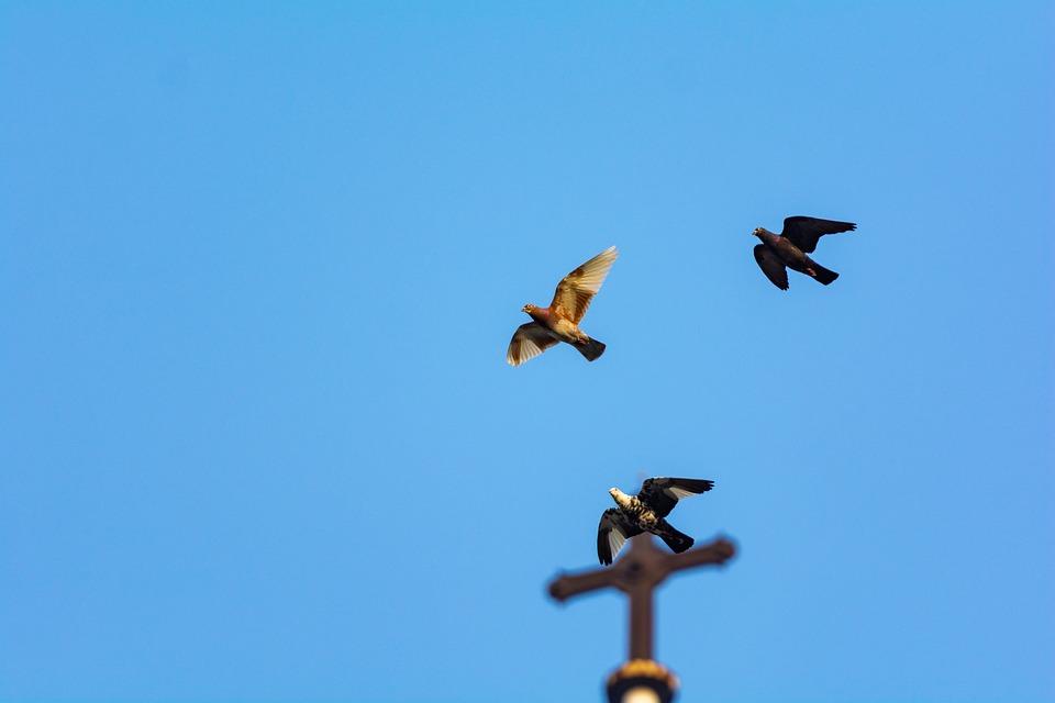 Sky, Bird, Dove, Animal, Flight