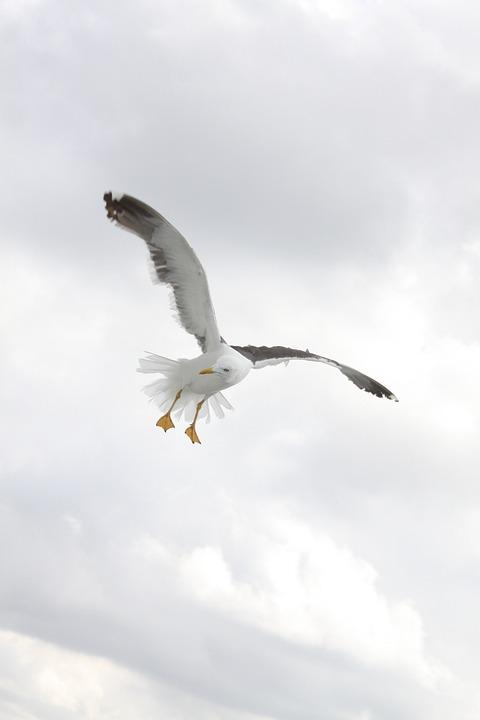 Birds, Wings, Seagulls, Bird, Fly, Nature