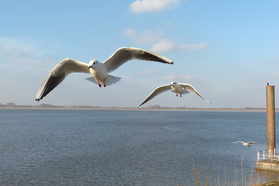 Bird, Gulls, Flying, Water, Elbe, Sky