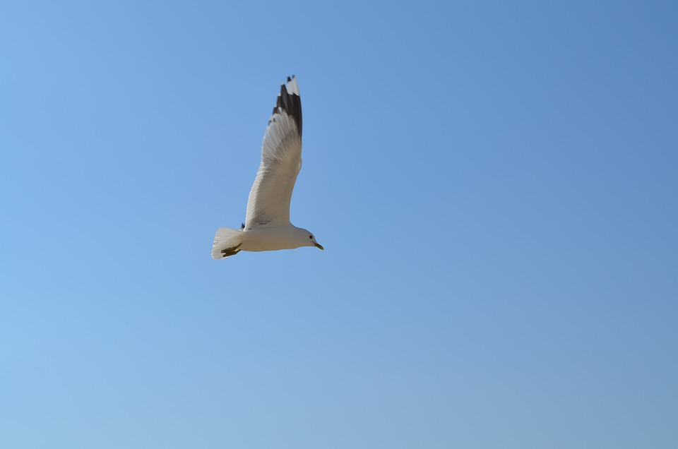 Seagull, Flying, Bird