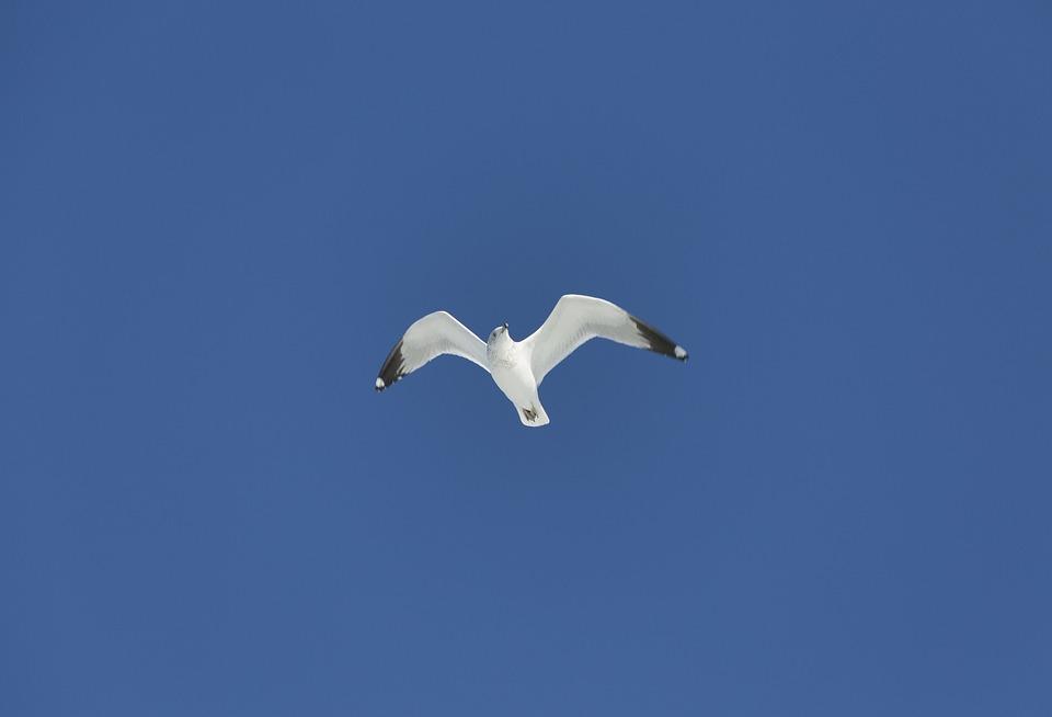 Flying, Sea Gull, Nature, Gull, Seagull, Bird, Wildlife