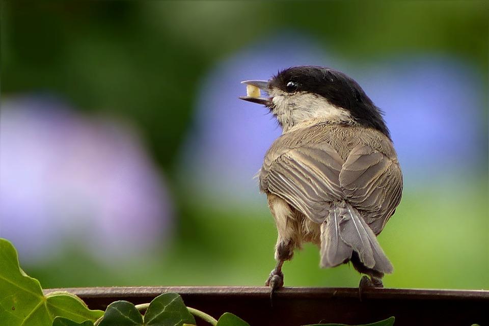 Animal, Bird, Coal Tit, Young, Periparus Ater, Foraging
