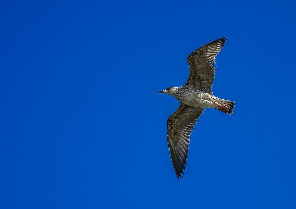 Seagull, Sky, Fly, Bird, Nature, Blue, Freedom, Wing